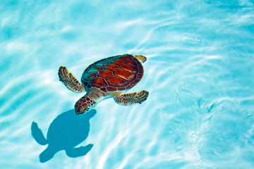 Baby turtle in the water