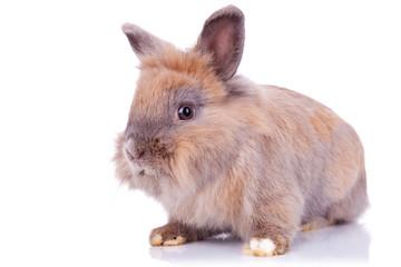 brown rabbit looking curious