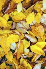 yellow orange autumn leaves lying in the faded foliage