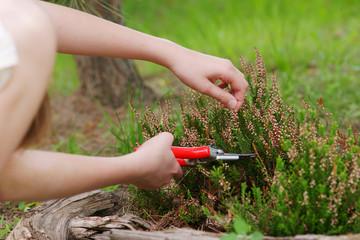 Fototapeta Heather pruning  with secateurs obraz