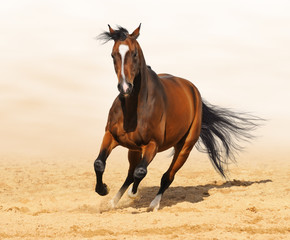 Fototapete - Trakehner red-bay color stallion in motion