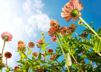 Fotoväggar - Flowers Over Blue Sky. Zinnia flower. Autumn Flowers