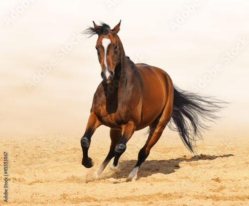 Fototapete Trakehner red-bay color stallion in motion