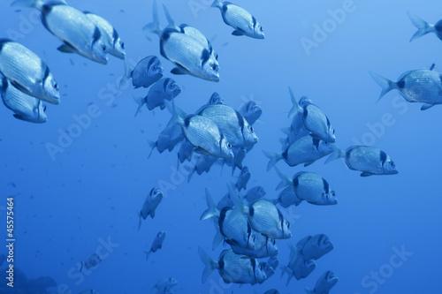 Banco pesci saraghi liguria mediterraneo immagini e for Acquisto pesci online