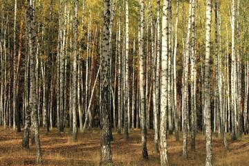 Keuken foto achterwand Berkbosje Autumn trees with yellowing leaves