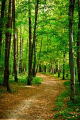 Path in beautiful beech forest near Rzeszow, Poland