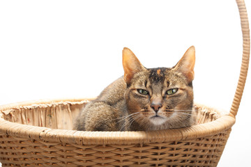 Purebred Abyssinian in reed basket
