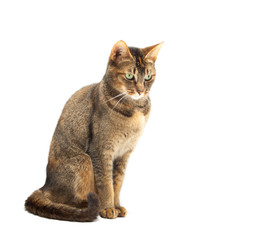 Purebred Abyssinian