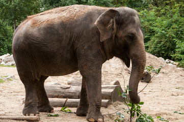 Grey Asian elephant in a ZOO