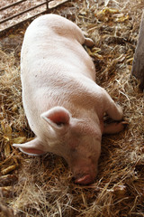 Sleeping sow in a pig pen.