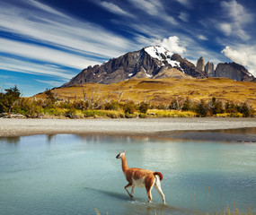 Photo sur Plexiglas Lama Torres del Paine National Park, Chile