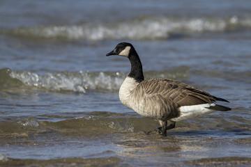 Canada Goose (Branta canadensis) at a Lake Huron Beach - Grand Bend, Ontario, Canada