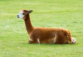 Alpaca brown lying in a field