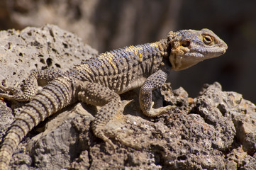 Brown, blue and yellow lizard on volcanic rocks