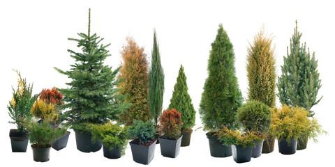 Fototapeta Conifers in containers obraz