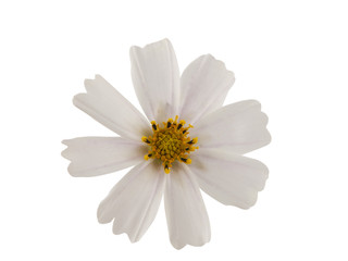 white cosmea flower