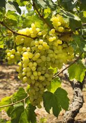juicy green grapes