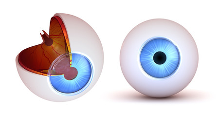 Eye anatomy - inner structure and front view, isolated