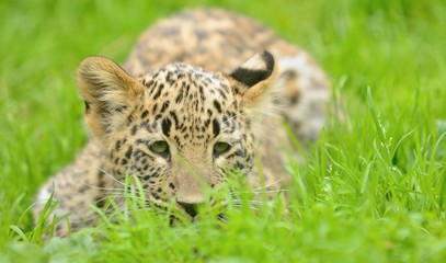Small young Persian (Caucasian) leopard lying in grass.