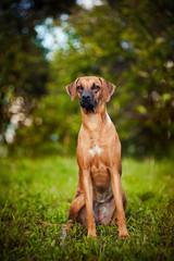 dog Ridgeback sitting on the grass