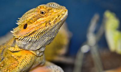 Pogona (dragon barbudo)