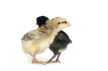 Two cute little chicken