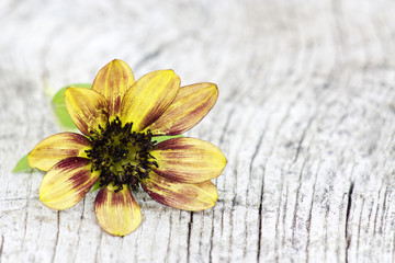 sunflower on old wooden background (Helianthus)