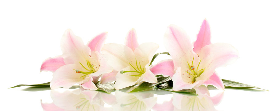beautiful lily flowers isolated on white