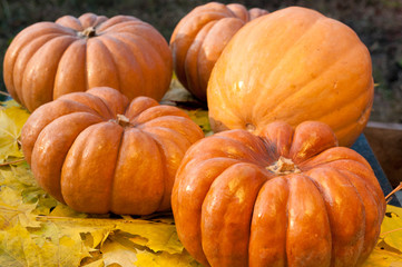Ripe orange pumpkins