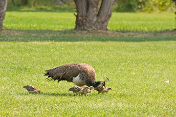 A female peacock (peahen), foraging on a lawn with chicks.