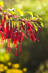Fuchsia flowers with waterdrops in early autumn morning sunshine