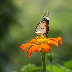 A beautiful butterfly sitting in the flower