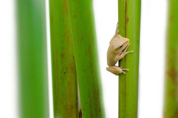 Frog on a plant stem