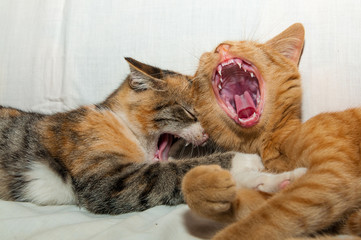 Two happy young kittens laughing