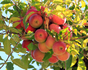 Wall Mural - red apples ready to be picked