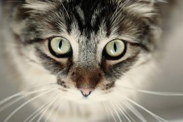 Beautiful Cat, portrait, closeup