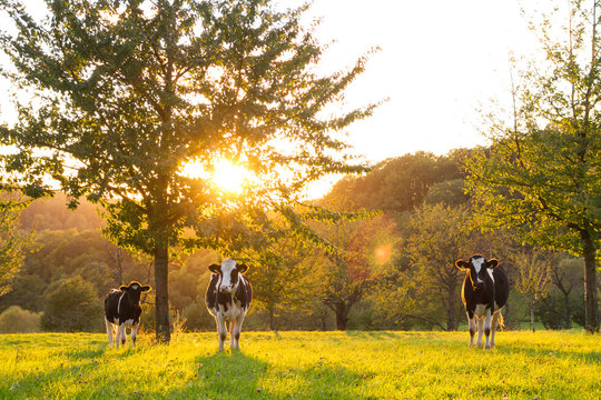 cattle in sunset on field