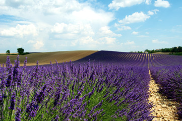 Lavender field in the french provence