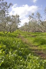 Olive grove in Galilee .Israel.