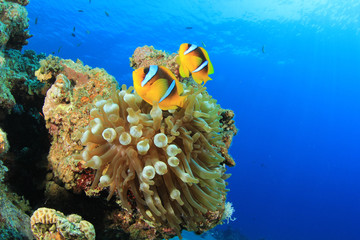 Pair of Clownfish in Anemone