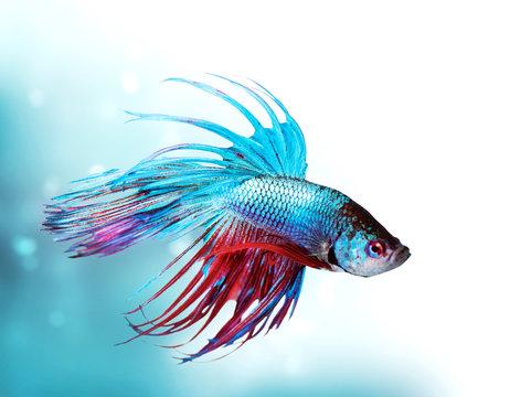 Colorful Betta Fish closeup. Dragon Fish. Aquarium