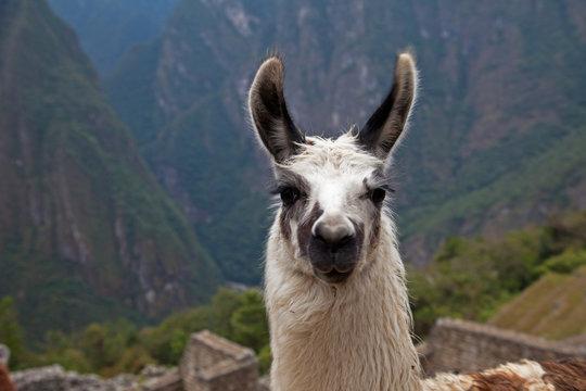 Alpaca at Machu Picchu
