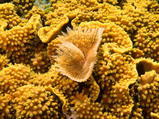Gills of sea worm, Red sea, Dahab