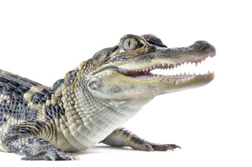 Fototapeten Crocodile Close-up of young American Alligator on white background.