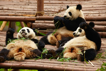 Wall Mural - Giant panda bears