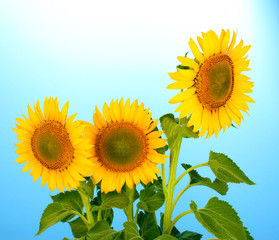 sunflowers on blue background