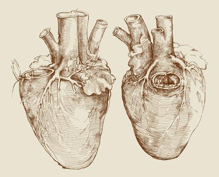Heart. Based on drawing of Leonardo da Vinci