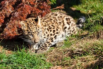 Cute Baby Amur Leopard Cub Crouching by Bush