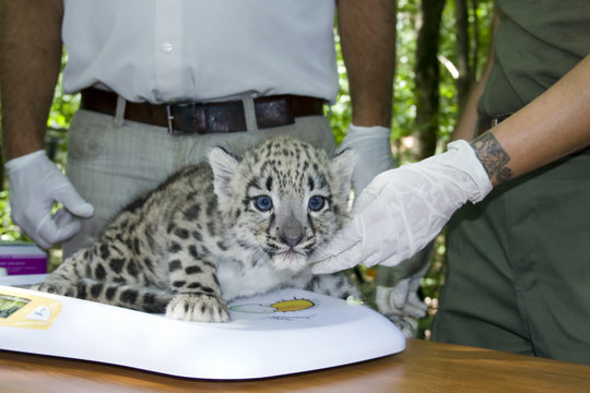 Weighting a snow leopard cub (Uncia uncia) in a zoo