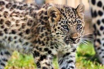 Close up of Cute Baby Amur Leopard Cub